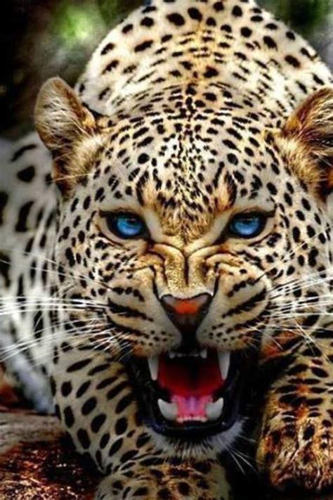 coolest jaguar cat best 25 jaguar ideas on jaguar animal jaguar