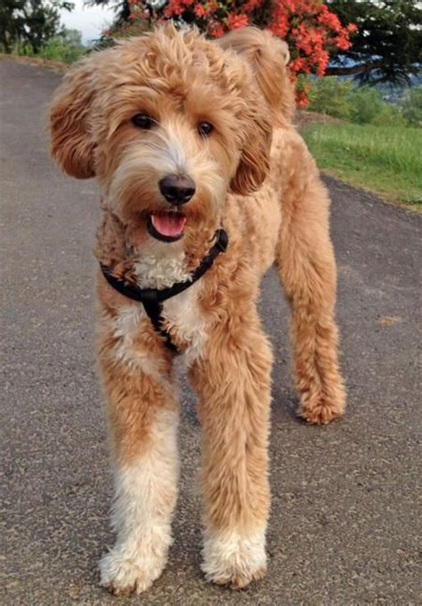unreal poodle cross breeds