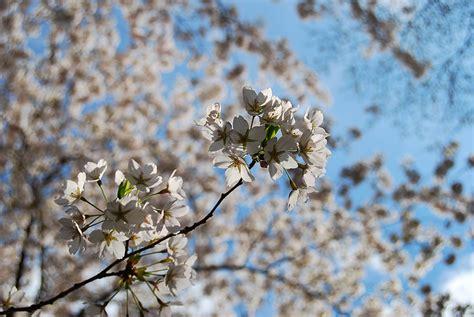 Japanischer Garten Kaiserslautern Koi by Das Kirschbl 252 Tenfest Im Japanischen Garten Kaiserslautern