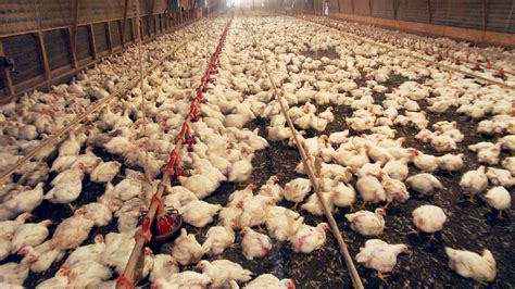 chicken farm when a chicken farm moves next door odor may not be the