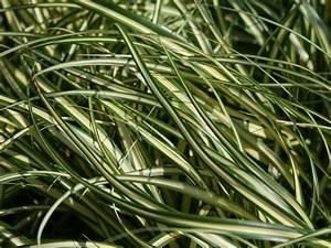 Carex Hachijoensis Evergold Pflege : gold segge 39 evergold 39 carex hachijoensis 39 evergold ~ Lizthompson.info Haus und Dekorationen