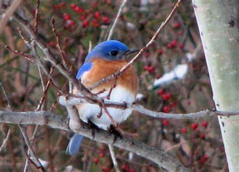 eastern bluebird facts anatomy diet habitat behavior