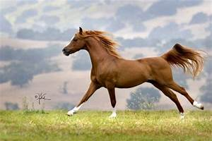 What You Need to Know When Choosing an Arabian Horse