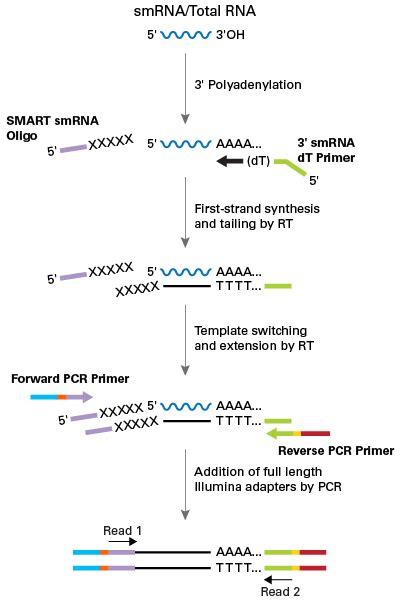 Rna Seq Illumina Smarter Smrna Seq Kit For Illumina Sequence Small Rnas