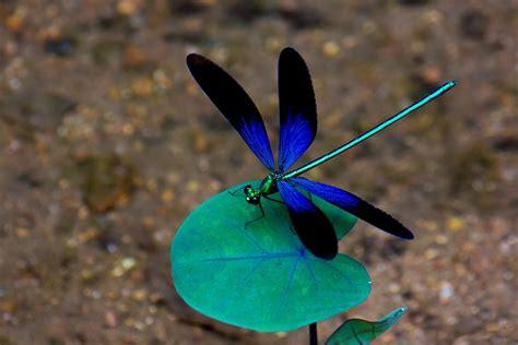 dragonfly backgrounds   pixelstalknet