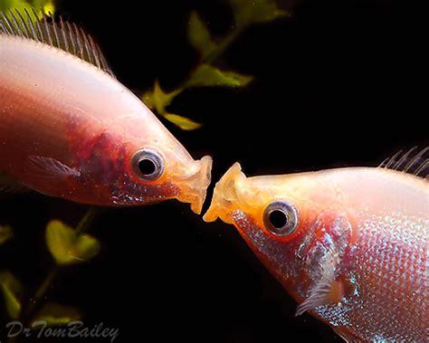 kissing fish  sale aquariumfishnet