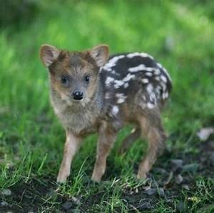 Quite possibly the cutest animal, it's a pudu. The worlds ...