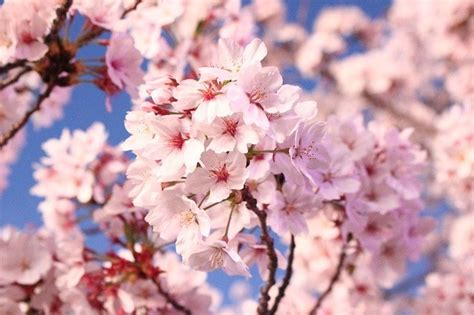 cherry blossom  london  gapp