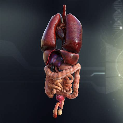 large human male internal organs  model cgtrader