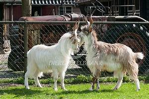 Girgentana geiten – De Dierenbeeldbank