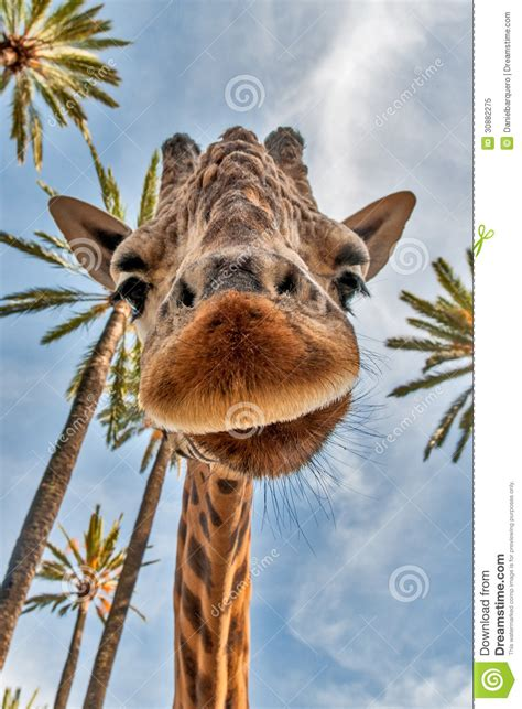 giraffes head royalty  stock photo image