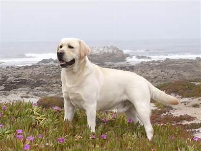 Labrador Retriever Wallpapers Resolution