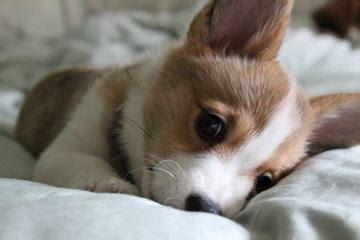 Augi Puppies For Sale / Augi Dog Breeders