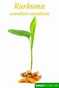 Kurkuma Pflanze Pflege : heilsames kurkuma selbst anbauen und vermehren gesunde ern hrung gesundheit pinterest ~ Eleganceandgraceweddings.com Haus und Dekorationen