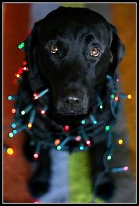 Pin by Eileen Alexander on Labs and Goldens | Pinterest