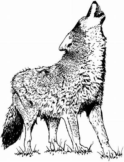 Wolf Coloring Pages Animals Wildlife Wolves