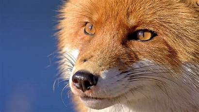 Fox Nose Face Eyes Wallhere Wallpapers