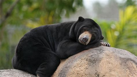 raro orso malese  stato ripreso  myanmar lifegate