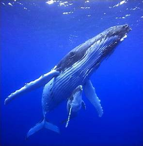Humpback Whale mother and calf | Whale of a Story | Pinterest