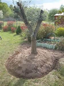 Gros Pot Pour Olivier : planter un olivier en pleine terre planter un olivier en pleine terre beau un gros pot pour l ~ Melissatoandfro.com Idées de Décoration