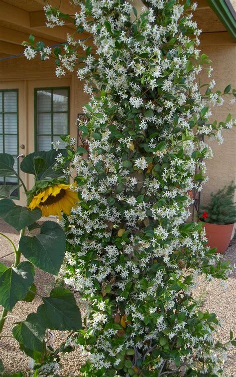 Favorite Thing Friday Jasmine Vines & Seedlings Cb