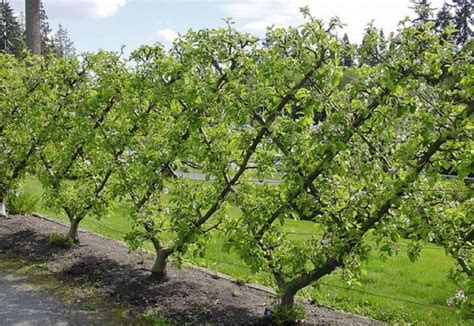 espaliered trees how to espalier fruit trees palmers garden centre