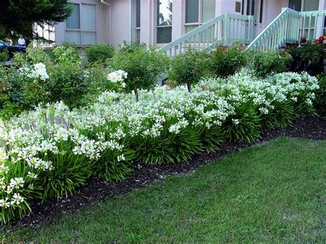 landscaping with agapanthus 1000 images about storm agapanthus lily of the nile on pinterest gardens alabama and white