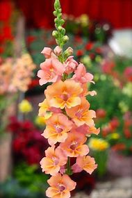 Butterfly Snapdragon