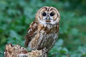 Owl Species List - A-Z Owls