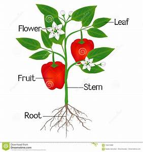 An Illustration Showing Parts Of A Plant Of Red Pepper