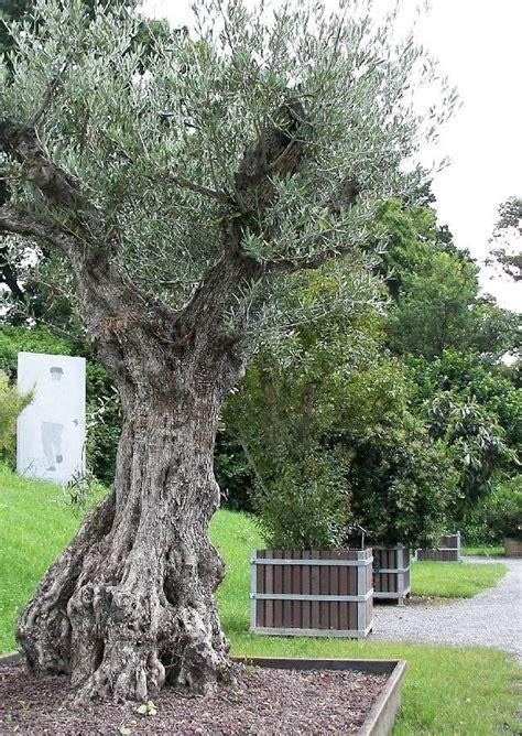 Olivenbäume Im Garten Und Freiland überwintern 04
