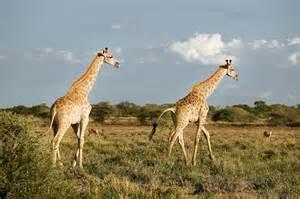 Giraffes Grassland Savanna Animals