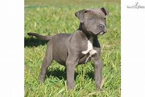 cachorros puros american pitbull silver fawn y blue fawn ...