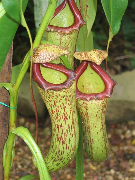 pitcher plant pitcher plant care growing different types of pitcher plants