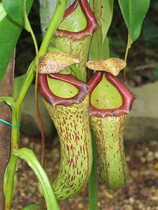 Pitcher Plant Care – Growing Different Types Of Pitcher Plants
