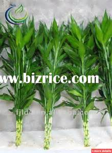 ornamental bamboo plants china bonsai for sale from fujian green earth ecological agriculture