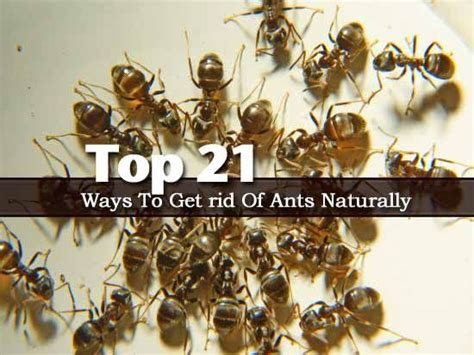 best way to get rid of ants top 21 ways to get rid of ants naturally landscaping pinterest the o jays ants and tops