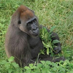 Gorilla Species in Africa, Types of Gorillas | Dive and ...