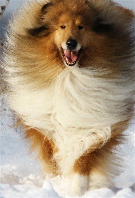 sheltie shedding in winter community post 10 things only collie owners would