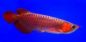 Asian arowana Fish Pics hd wallpapers – Animals And Birds