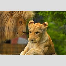 Free Photo Lion, Female, Predator, Cat  Free Image On