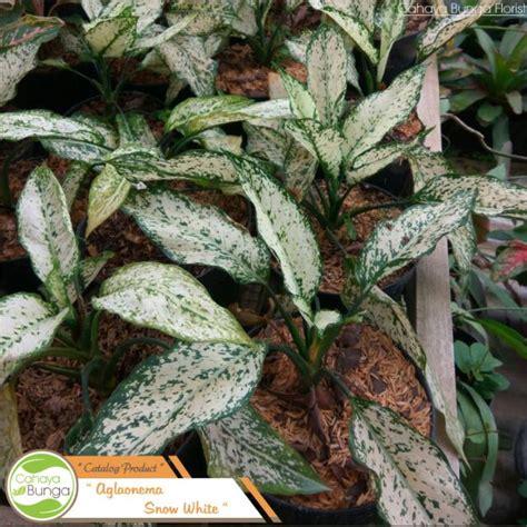 tanaman hias aglaonema snow white gardening carousell