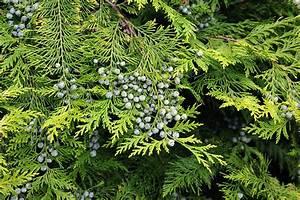 Thuja Brabant Oder Smaragd : botanikus lebensbaum ~ Orissabook.com Haus und Dekorationen