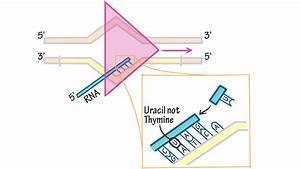 Nitrogenous Bases In Rna