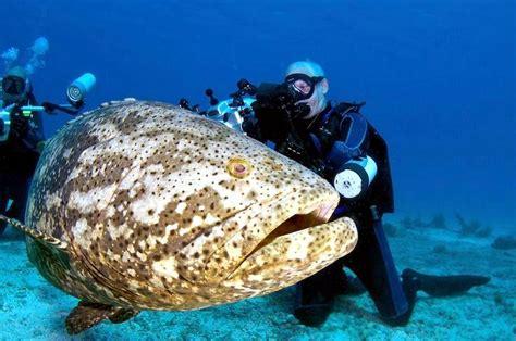 grouper goliath giant fish atlantic underwater ocean caught jewfish dangerous sea huge largest endangered heaviest eat diver itajara epinephelus xv
