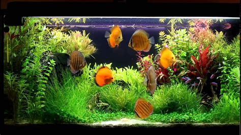Discus Planted Tank 180l (1080p) Youtube