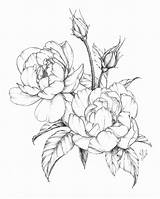 Flower Drawings Botanical Peony Drawing Spring Illustration Flowers Coloring Shading Line Rose Pages Floral Ink Modern Garden Roses Featuring Pen sketch template