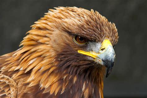 Beautiful Birls Golden Eagle Photos Free Download