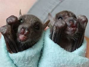 Adorable baby bats swaddled up like burritos for comfort ...