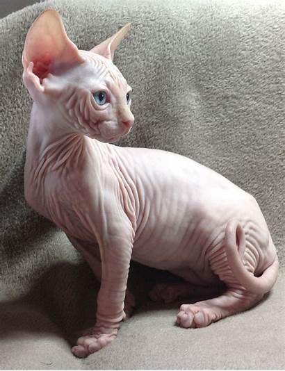 Sphynx Sitting Cat Cats Hairless Sphinx Breeds